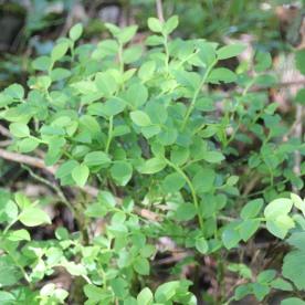 Wimberry (Vacccinium myrtilus L)