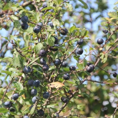 Prunus (serrula)