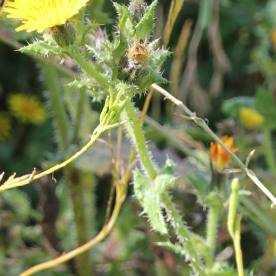 Bristly Oxtongue (Picris echiodes)