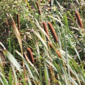 Bulrushes or Reed Mace (Typha latifolia)