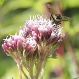 Wasp on Hemp Agrimony (Eupatorium cannabinum)