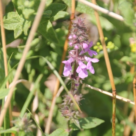 Marsh Woundwort (Stachys palustris)