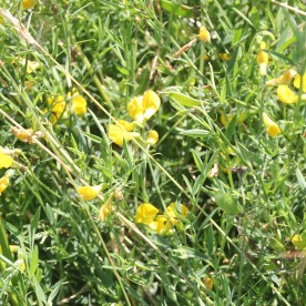 Meadow Vetchling (Lathyrus pratensis)