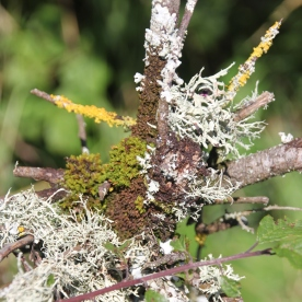 Mosses and Lichen