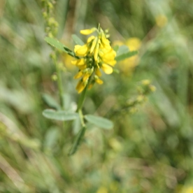 Ribbed Melilot (Melilotus officinalis)