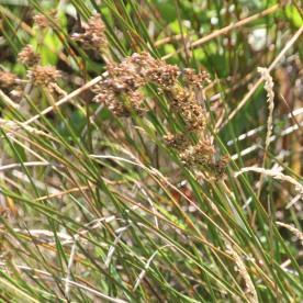 Saltmarsh Rush (Juncus gerardii)