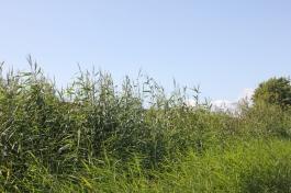 seawall reeds