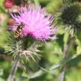 Wasp on Spear Thistle
