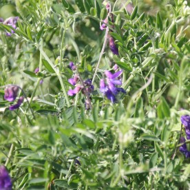 Tufted Vetch (Vicia sylvatica)