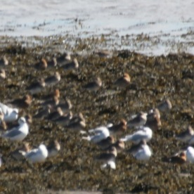 Brown waders with gulls