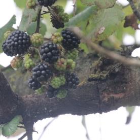 Brambles Blackberies (Rubus fructicosus)