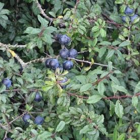 Blackthorn (Sloe) (Prunus spinosa)