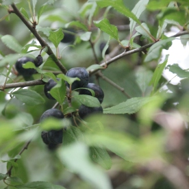 Blackthorn (Sloe) (Prunus spinosa)