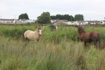 Common Reeds with horses