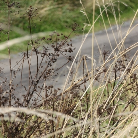 Cow Parsley (Anthricus sylvestris)