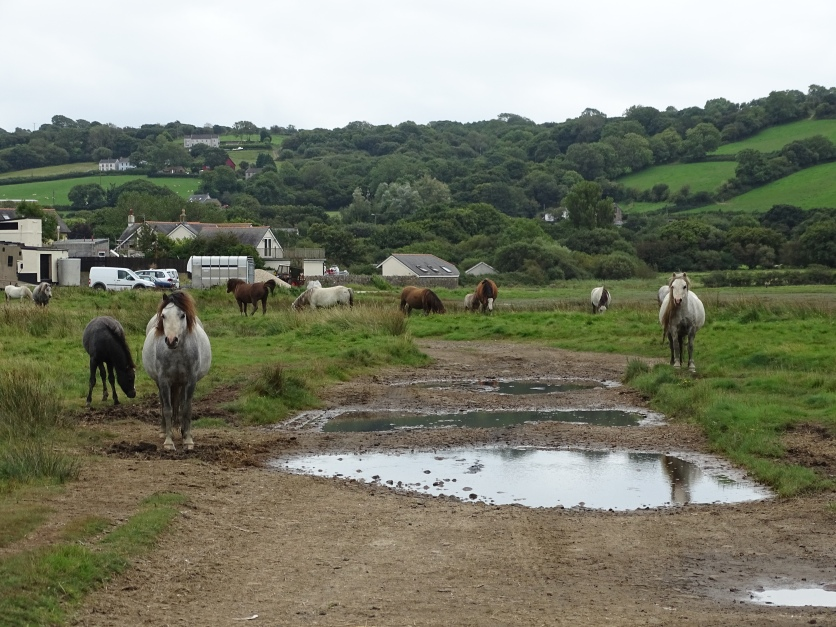 Crofty,horses and puddles