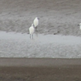 Little Egrets ( Egretta garzetta)