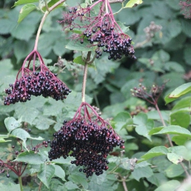 Elder berries (Sambucus niger)