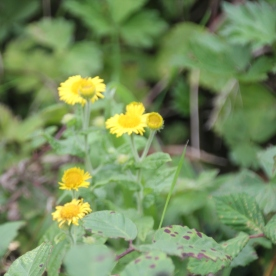 Fleabane (Pulicaria dysentrica)