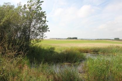 Golf course & Reeds
