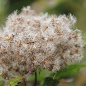 Hemp Agrimony seedhead (Eupatorium cannabinum)
