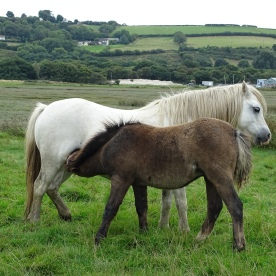 Horses mother with foal (Equus species)