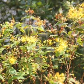 Imperforate St. John's Wort ( Hypericum maculatum)