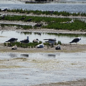 Lapwing, Sandpipers,Lesser Black-backed and Black-headed Gulls
