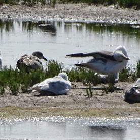 Lesser Black-backed Gull (Larus fucus)