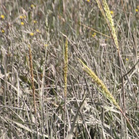 Lyme-grass (Leymus arenius)