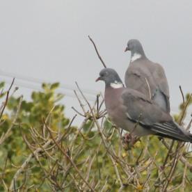 Pigeon (Columba livia)