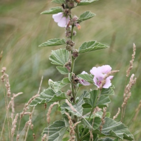 Marsh Mallow (Althaea officinalis)