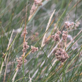 Sharp Rush (Juncus acutus)