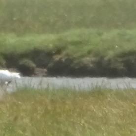 Spoonbill (Platalea leucorodia) and Little Egrets ( Egretta garzetta)