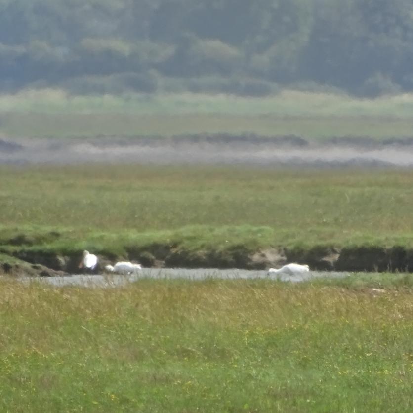 Spoonbill & Egrets