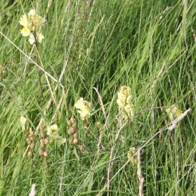 CommonToadflax (Linaria vulgaris)