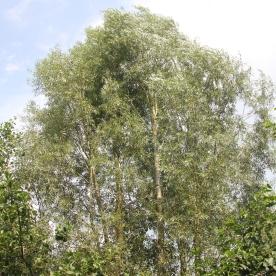 Wil (low (Crack)(Salix capreafragilis)