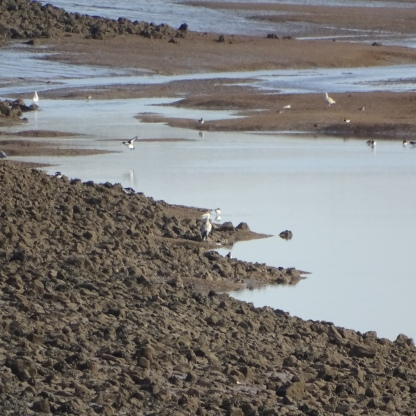 birds on mudflats 2
