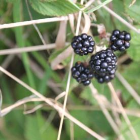 Blackberries (Rubus fructicosus(