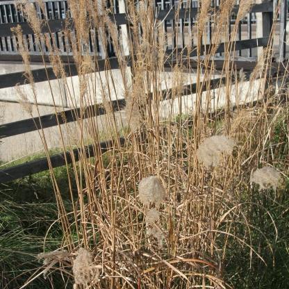 Common Reed ( Phragmites australis)
