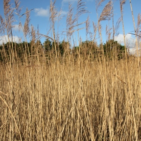 Tall Common Reeds swaying in the wind