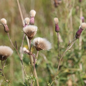 Creeping Thistle seed-heads (Cirsium arvensis)