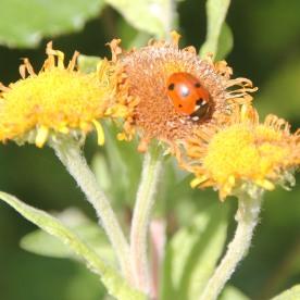 Fleabane with Ladybird (7 spot) (Coccinella septempunctata)