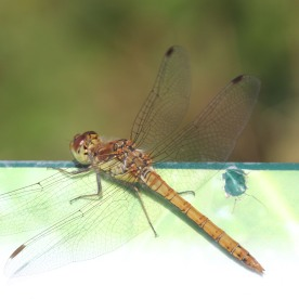Four-spotted Chaser (Dragonfly) (Libellula quadrimaculata)