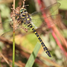 Golden-ringed Dragonfly (Cordulegaster boltoni)