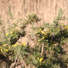 Gorse (Ulex europaeus)