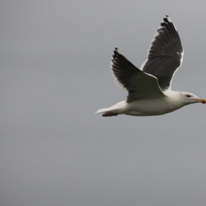 Grat Black-backed Gull (Larus marinus)