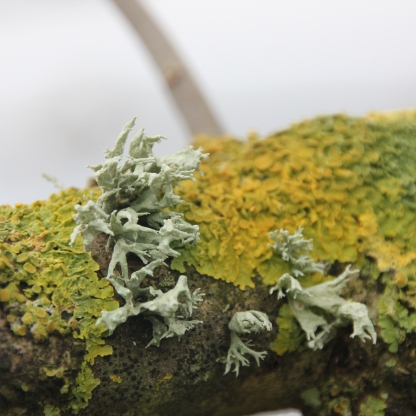 Oakmoss Lichen(Evernia prunastri)