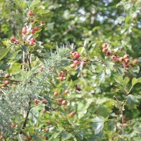 Hawthorn Haws (Crataegus monogyna)