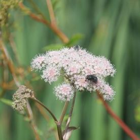 Hogweed with Housefly (Muscidae species - Polietes lardarius)